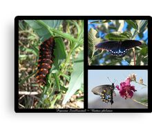 Butterfly Collage ~ Pipevine Swallowtail Canvas Print