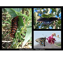 Butterfly Collage ~ Pipevine Swallowtail Photographic Print