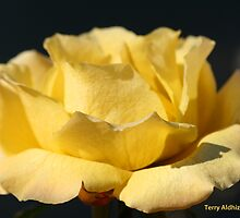 Yellow Rose Of Elizabeth One by Terry Aldhizer
