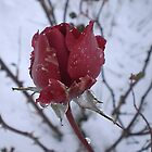 Rose and snow by Dulcina