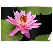 Pink Water Lily Longwood Gardens Poster