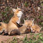 The Bird Watcher / Red Fox Kits by Gary Fairhead