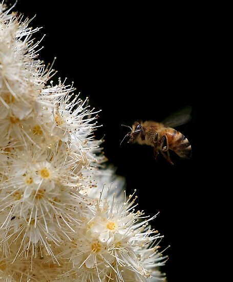 Honey Bee in Flight - Dunrobin Ontario by Debbie Pinard
