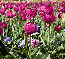 Purple Tulips at Floriade by Anna Calvert