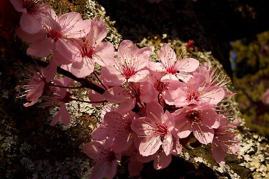 lichen ornamental cherry blossoms by dedmanshootn