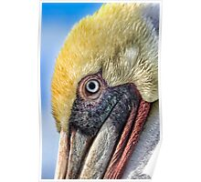 Portrait of a Brown Pelican Poster