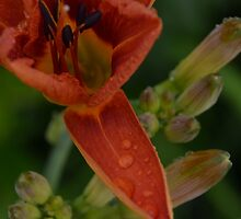 Day Lily After the Rain by NatureWaltzArts