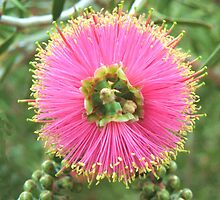 Pink Bottlebrush by Michael John