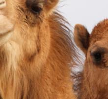 Camels Sticker