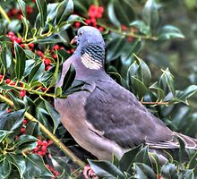 Holly Pigeon by brianfuller75