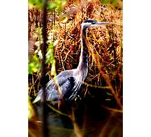 Great Blue Heron at the Chicago Botanic Gardens Photographic Print