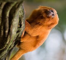Tiny Golden Lion Tamarin by cute-wildlife