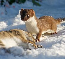 Stoat by Robert  Geldard