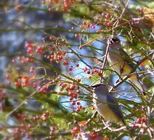 Cedar Waxwings Two... by LindaR