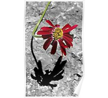 Red Daisy - Dunrobin Ontario Poster