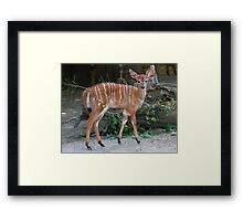 Fluffy Nyala Framed Print