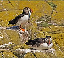 Puffins by ten2eight