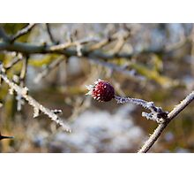 Frost Berries Photographic Print