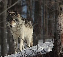 Anthropomorphic Impressions of the Timber Wolf © by DigitallyStill