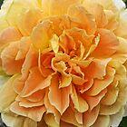 Orange Rose by Ray Clarke