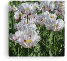 Opium Poppies Canvas Print