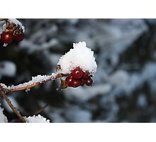 Red Berry - White Snow Cap Photographic Print
