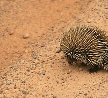 Echidna crossing the road,Kangaroo Island, S.A. by elphonline