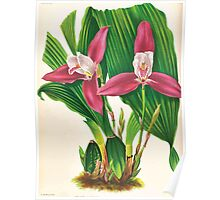 Iconagraphy of Orchids Iconographie des Orchidées Jean Jules Linden V17 1906 0016 Poster