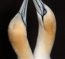 Gannets by Dean   Eades