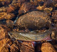 Wild Basin Brook Trout by Gary Siemer