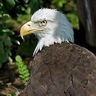 Bald Eagle by antonalbert1