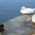 Ducks on the Lake by Susan Moss
