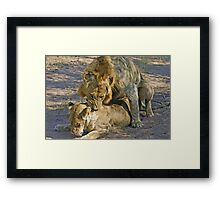 Mating lions Framed Print