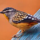 Spotted Pardalote (Pardalotus punctatus) - Thanks to Rick for the ID by Andy and Von Quinn