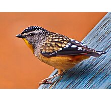 Spotted Pardalote (Pardalotus punctatus) - Thanks to Rick for the ID Photographic Print