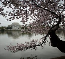 Cherry Blossoms Tidal Basin Jefferson Memorial by AJ Belongia