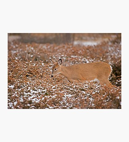 Blending in with the junipers Photographic Print