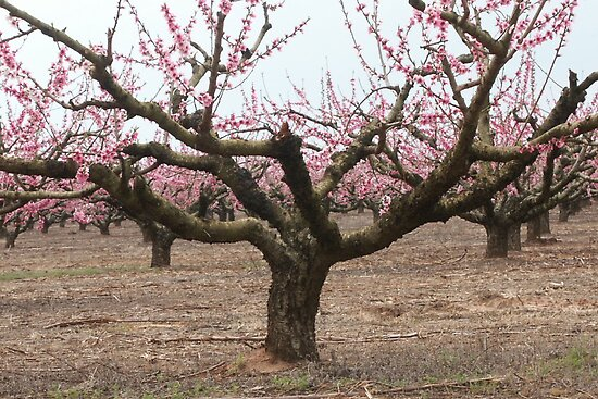 Peach Tree by Bob Hardy