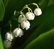 Lily of the Valley - May 2014 by cclaude