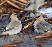 Bohemian Bird Bath / Bohemian Waxwings by Gary Fairhead