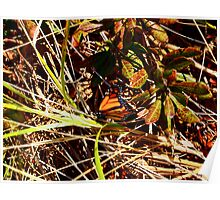 Orange Monarch Butterfly in the oceans beach grass Poster