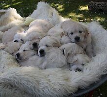 Barrow full of puppy love! by GRCV GRCV