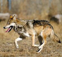 Adorable American Wolf by cute-wildlife