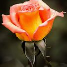 Rose Orange by JEZ22