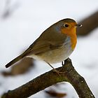 Winter Robin by shutterjunkie