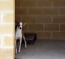 Shy podenco / Protectora de Animales y Plantas de Málaga 9 by homesick