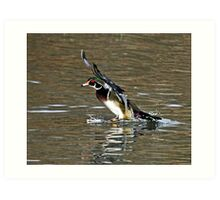 Wood Duck Splash Down Art Print