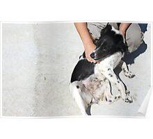 Brittany Pinja / Protectora de Animales y Plantas de Málaga 11 Poster
