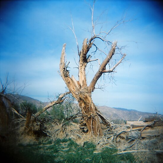 Forked Tree, Anza Borego, CA February 2010 by joshsteich