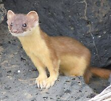 Young Weasel by cute-wildlife